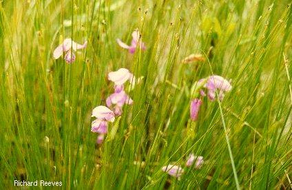 Pogonia-Plants_rr400