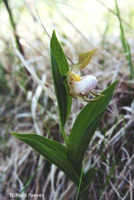 SmallWhite-Plant_rr390